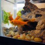 アメリカで金魚の飼育